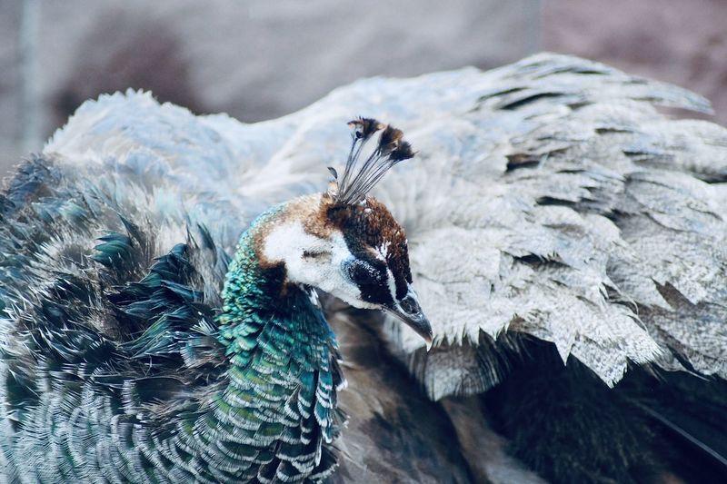 Close-up of peacock perching