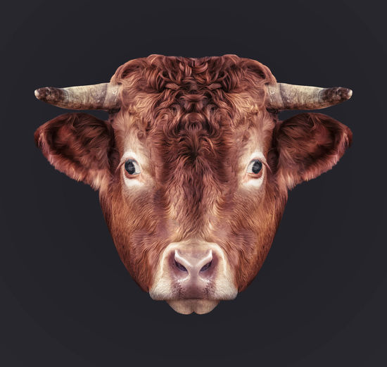 The bull's head Architecture ArtWork Beef Bull HEAD Horns Animal Themes Black Background Brown Cattle Close Up Close-up Cow Day Domestic Animals Eyes Headshot Livestock Looking At Camera Mammal No People One Animal Portrait Studio Shot