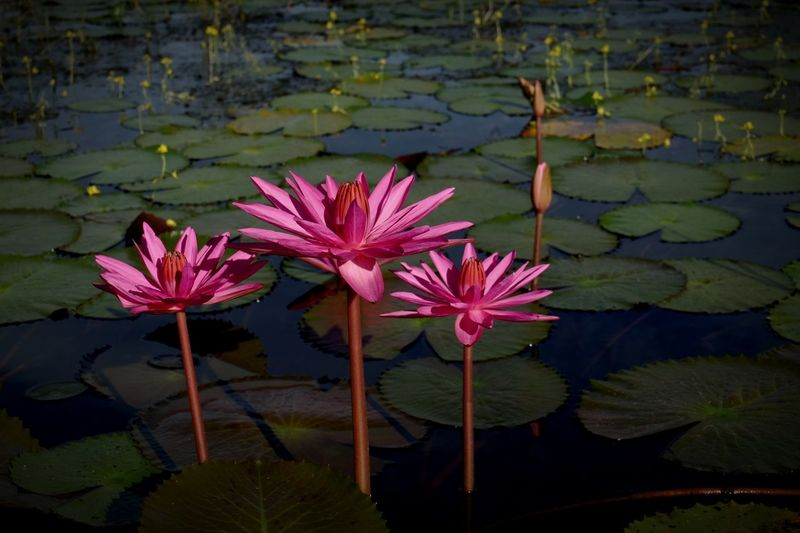 Plant Lake Water Nature Flower Outdoors No People Beauty In Nature Day Fragility Flower Head Freshness Lotus Flower Pink Color Beauty In Nature Water Surface EyeEmNewHere Nature Close-up Calm Lotus Thai Landscape Be. Ready. Merits EyeEm Best Shots - Nature AI Now EyeEm Ready