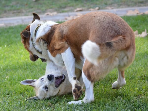Dog Pets Domestic Animals Grass Animal Mammal Young Animal Animal Themes Day Puppy No People Outdoors Friendship Nature Beagle EyeEm Ready   AI Now