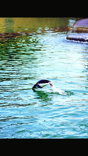 Penguin jumping out of the water. Scotland Zoo. Water One Animal Wildlife Zoology Swimming Animal Outdoors Water Bird Water Surface Animal Wing Penguin Penguinswim Penguin Jumping