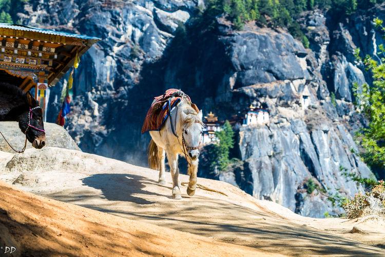 Climbing Hiking Mountain Tired Horse Walking Down Working Horse