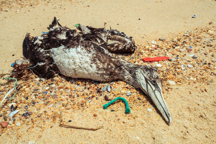 Dead seagull washed up on the beach surrounded by waste plastic