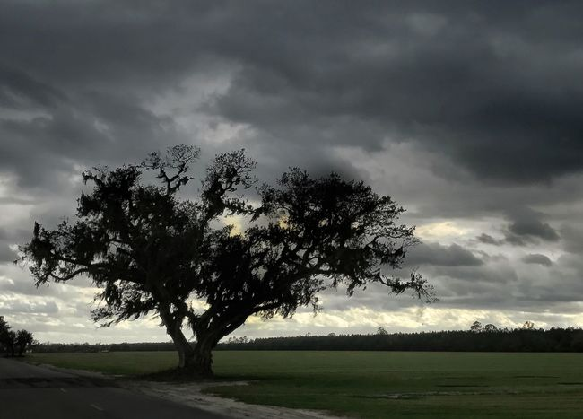 Live Oak tree on the edge of field as storm clouds loom. Tree Live Oak Stormy Weather Clouds Silhouette Green Field Road Nature Tranquility Beauty In Nature Weather Sky Scenics Tranquil Scene Cloud - Sky No People Landscape Outdoors Growth Field Grass Day Betterlandscapes
