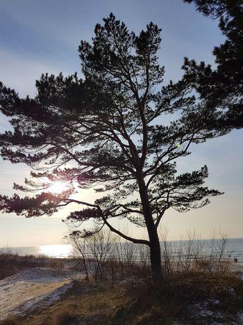 Lithuania Lithuania Nature Baltic Sea Tree Pine Sea Beach Sea Water Sky Sun Sunnyday Nature