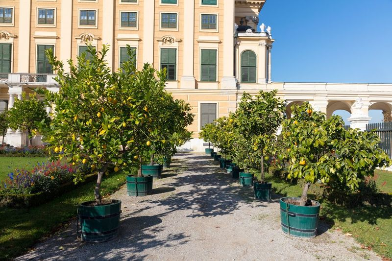 Lemon trees at Orangerie, Schönbrunn Palace Park, Vienna. Lemon Trees Orangerie Schönbrunn Plant Architecture Built Structure Building Exterior Growth Nature Day No People Building Tree Sunlight Outdoors Potted Plant Green Color Garden Window Clear Sky