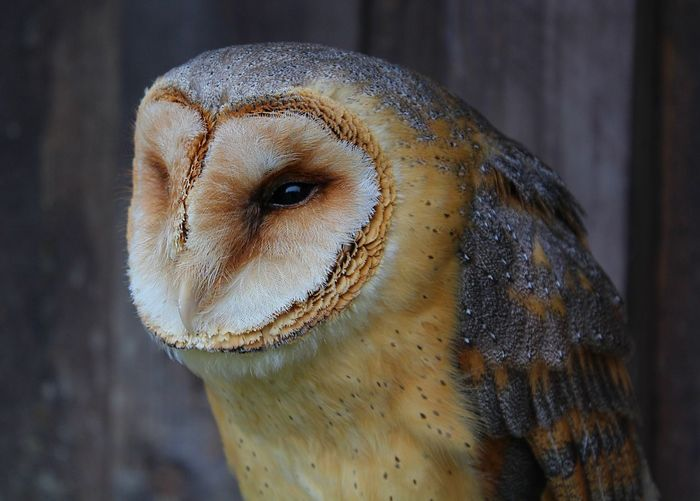 Close-up of barn owl looking away