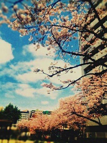 Sakura Sakura2015 Taking Photos EyeEm Meetup Fukuoka Fukuoka,Japan Cherry Blossoms Hakata