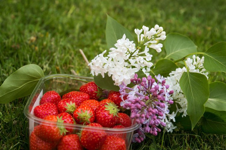 Close-up Day Flower Flower Head Food Food And Drink Freshness Fruit Grass Healthy Eating Leaf Lilac Nature No People Outdoors Red Strawberries Syringa Variation