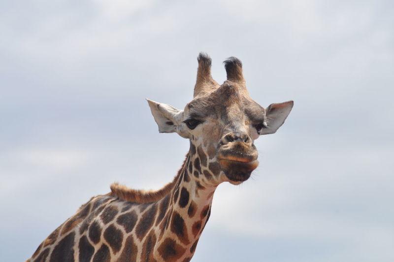 Giraffe standing against sky