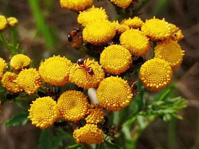 Ants Rainfarn Ants On A Flower Best EyeEm Shot EyeEmBestPics EyeEm Gallery Eye4photography  EyeEm Nature Lover EyeEm Best Shots - Nature Flower Head Flower Yellow Insect Animal Themes Close-up Plant