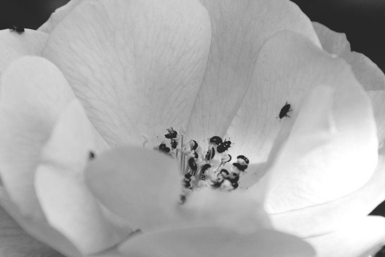 EyeEm Nature Lover many little bug's on my roses Black & White RePicture Love Mygarden:)