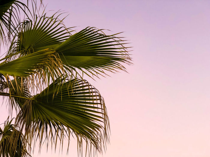 Palm trees at sunset Sunset Palm Tree Palm Trees Sunset Silhouettes Tropical Climate Palm Leaf Tree Leaf Plant Growth Sky Green Color Beauty In Nature Nature Plant Part No People Low Angle View Copy Space Tranquility Day Outdoors Clear Sky Close-up Tropical Tree Coconut Palm Tree Purple