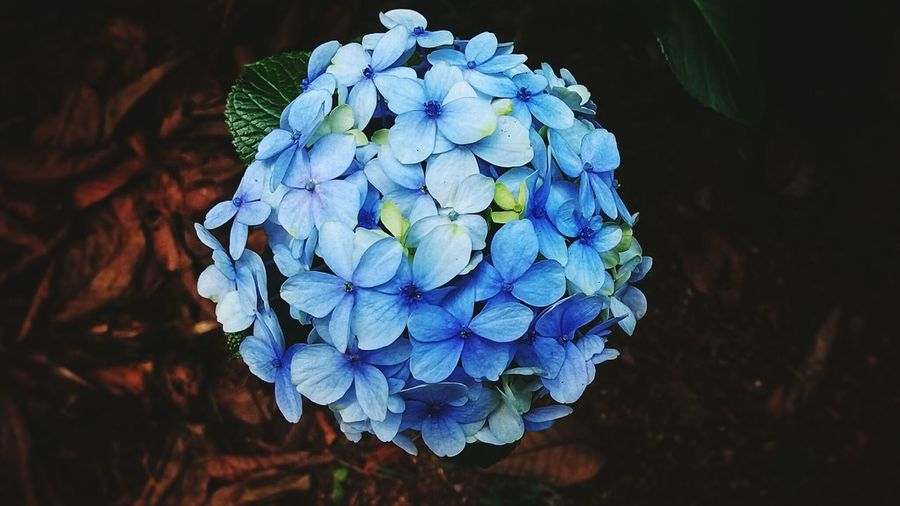 Blue Nature Beauty In Nature Close-up Plant Growth Flower Flowering Plant No People Hydrangea Fragility Vulnerability  Outdoors Inflorescence Petal Purple Flower Head Land Freshness Multi Colored in Kodikanal India
