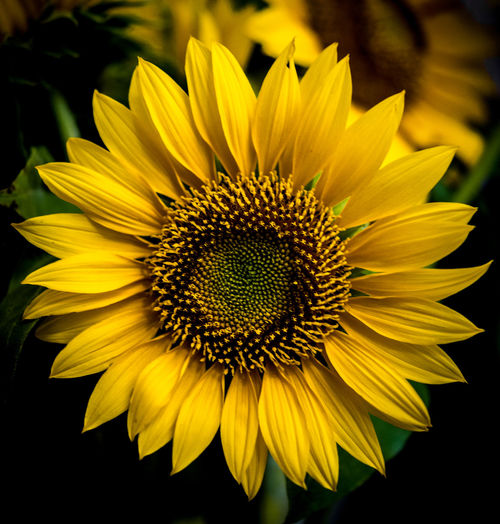 The Beauty sunflower Flower Flowering Plant Fragility Petal Vulnerability  Flower Head Yellow Inflorescence Beauty In Nature Plant Growth Freshness Close-up Pollen Nature Focus On Foreground Sunflower No People Botany Gazania