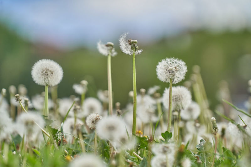 https://youtu.be/XVPuK3ufqGU Plant Flower Flowering Plant Freshness Fragility Growth Vulnerability  Beauty In Nature Field Nature Close-up Selective Focus No People Land Day Dandelion Flower Head Green Color Plant Stem Inflorescence Outdoors Springtime Softness Dandelion Seed
