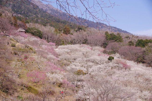 2018.03.15 Spring Nature 筑波山梅林 Springtime Plumbrossom Japan In Bloom