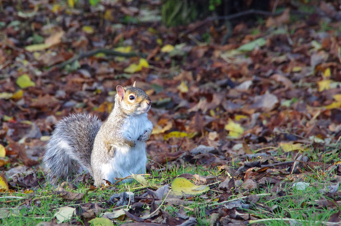 Cute maybe, but I remember when there were red squirrels in Kelvingrove Park. I miss them. Alertness Animal Animal Themes Animals In The Wild Brown Day Fall Fly Focus On Foreground Grass Grey Squirrel Kel Leaves No People One Animal Outdoors Rodent Scottish Scottti Squirrel Taiwan West West End Wildlife Zoology