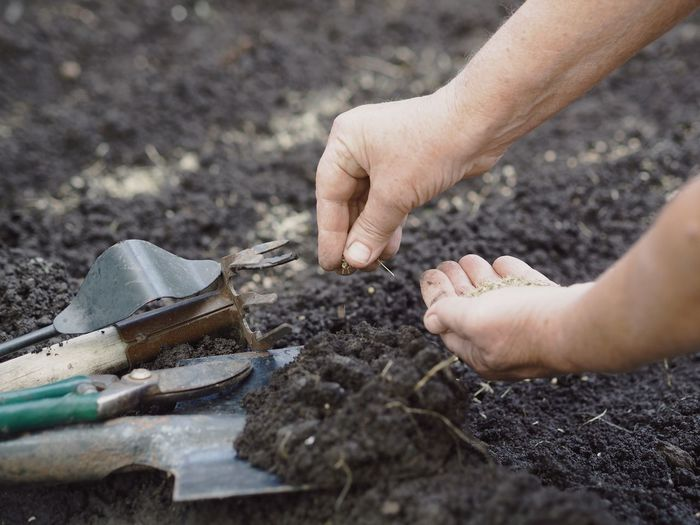 Elderly woman's hands throw dill seeds into the ground against the background of agricultural tools.