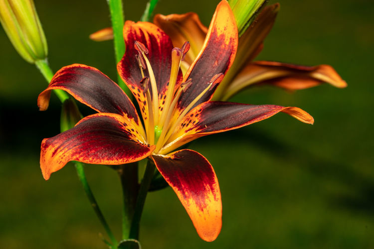A tiger lilly