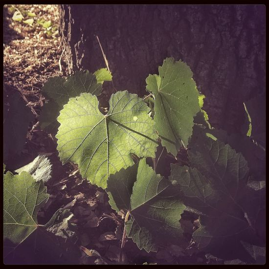 Grape Leaf  Backlit Backlighting Green