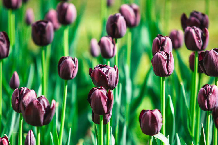 Close-up of purple tulips
