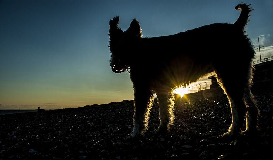 Rosie enjoying the sunset Rosie Sunset Beach Sky Sun Dog Pets Domestic Animals Eastney Southsea Portsmouth Hampshire  England Illuminated Silhouette Sky