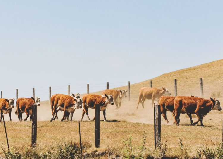 Cow Free Range Cattle Pasture Animal Group Of Animals Nature Livestock Field Clear Sky