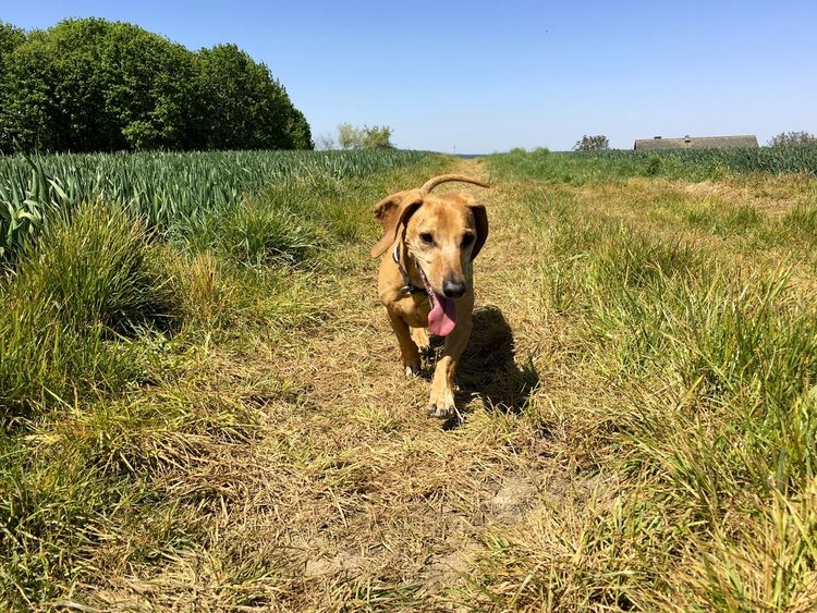 Dachshund Dackel Day Dog Life Dogs Field Grass One Animal Outdoors Pets