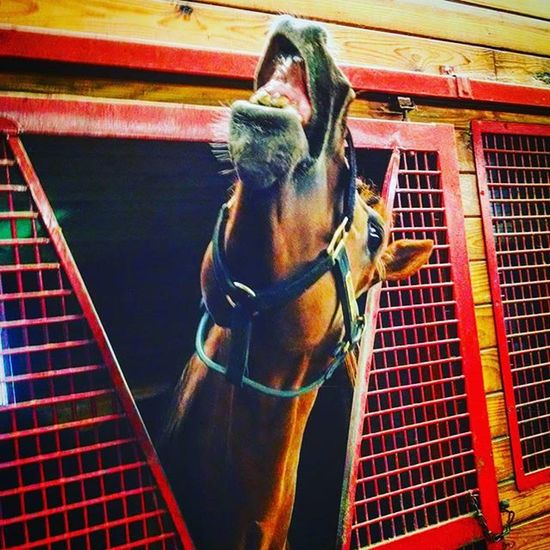 Pharaoh 'scity making faces at RamseyFarm on this cool Rainy Afternoon Selfie Farms Thoroghbredracing Horsefarm Thoroughbredhorse Thoroghbred Selfies Farm Fall Autumn Goofy