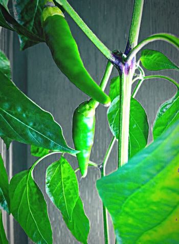 Lemon Lime By Motorola Chillis Green Chillies Chillies Inmyhouse Spring Spring2014 Plants Spices Rogerout