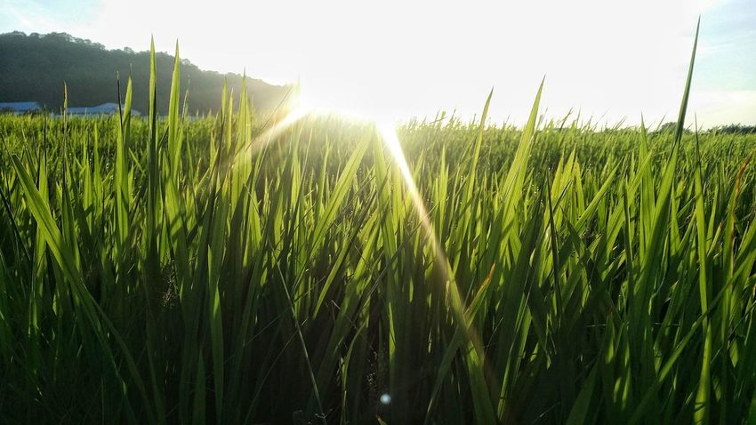 Growth Cereal Plant Agriculture Grass Sunlight Nature Field Outdoors Day Rural Scene Freshness Beauty In Nature No People Sky Irrigation Equipment Water Tree EyeEmNewHere Landscape Food Scenics Eyemphotography KluangMan Paddy Field Close-up
