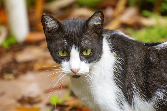 The look of the cat. Cat Animal Themes One Animal Feline Animal Pets Mammal Domestic Animals Domestic Cat Domestic Vertebrate Whisker Focus On Foreground Day No People Close-up Portrait Looking At Camera Looking Green Eyes Yellow Eyes Animal Head  Animal Eye Snout EyeEmNewHere