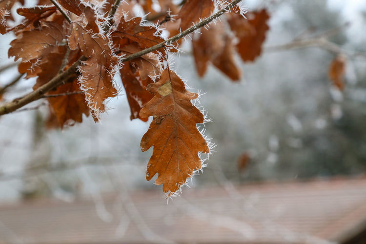 Close-up of frosted dry leaves
