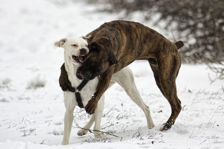 Animal Animal Themes Boxer Boxer Dog Boxer Dogs Cold Dog Dogs In The Snow Dogs Jumping  Domestic Animals Funny Ice Iced Ice Age It's Cold Outside Jumping Mammal Pets Phillip & Sopi Playing Playing Dogs Snow Two Animals Winter