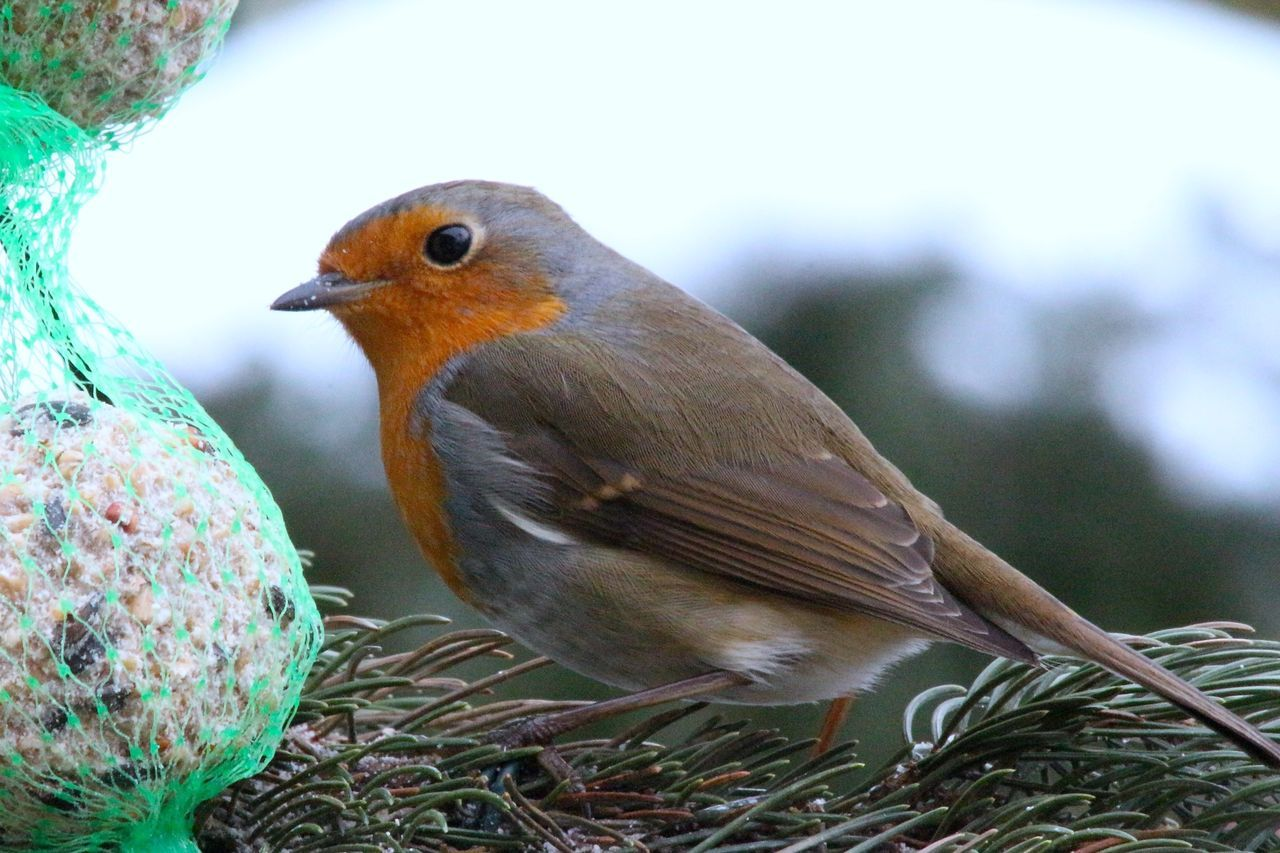 bird, animal themes, animals in the wild, focus on foreground, robin, close-up, animal wildlife, day, no people, one animal, nature, outdoors, perching