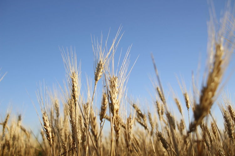 Agriculture Beauty In Nature Blue Cereal Plant Clear Sky Close-up Crop  Day Farm Field Growth Land Landscape Nature No People Outdoors Plant Ripe Rural Scene Rye - Grain Sky Tranquility Wheat