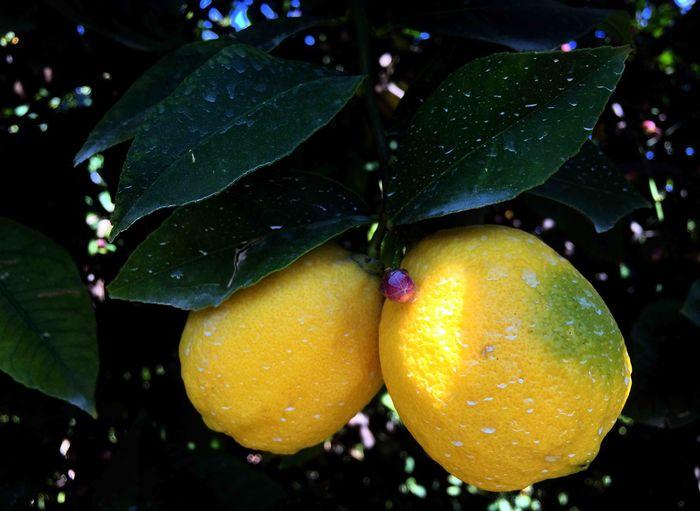 Close-up of lemons growing outdoors
