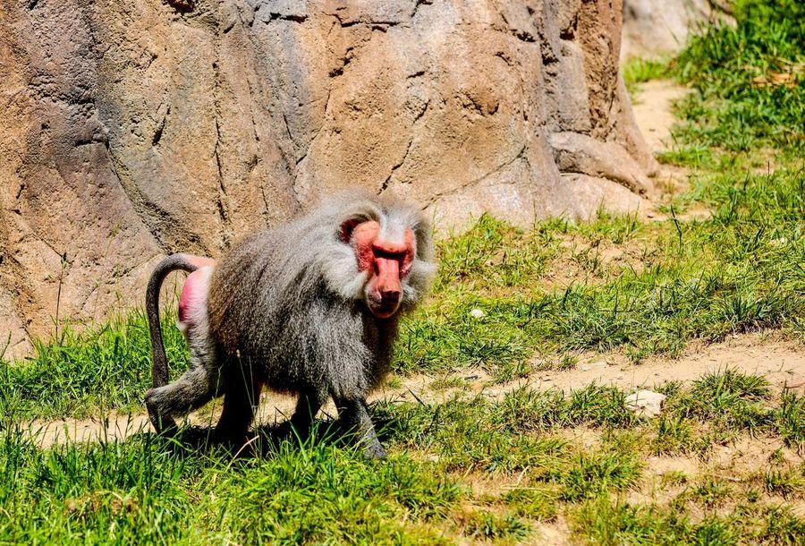 Alpha Male Baboon JGLowe JGLowe One Animal No People Field Animals In The Wild High Angle View Animal Wildlife Outdoors