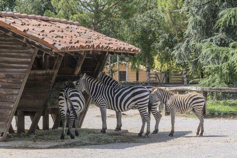 Zebras At Zoo