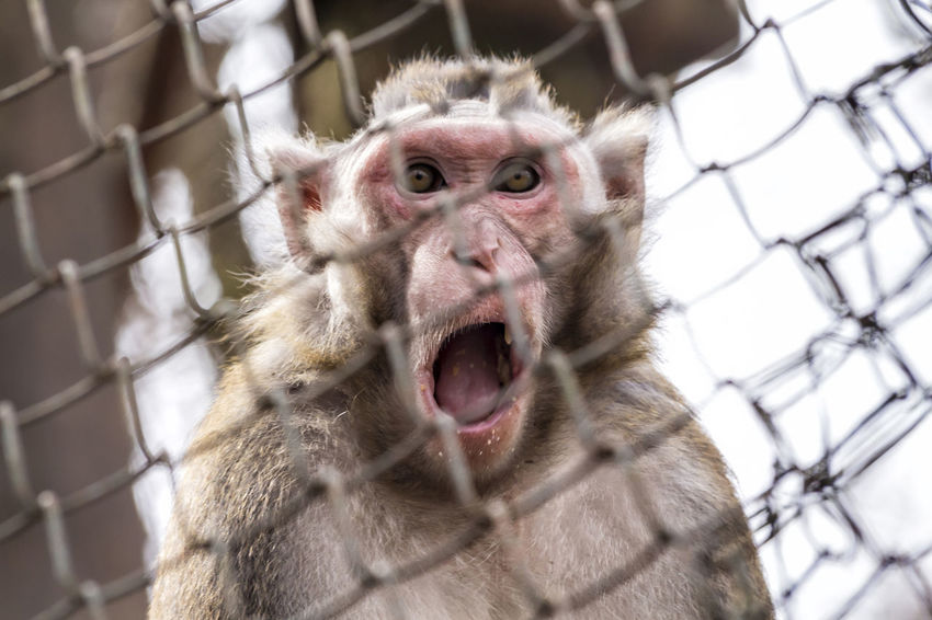 Amazed Monkey Alertness Amazed Amazing Animal Themes Animals In The Wild Astonished Astonishing Expression Face Funny Jo Mammal Monkey One Animal Portrait Primate Stupor Surprize Surprized Wildlife Wonder Zoology Showing Imperfection