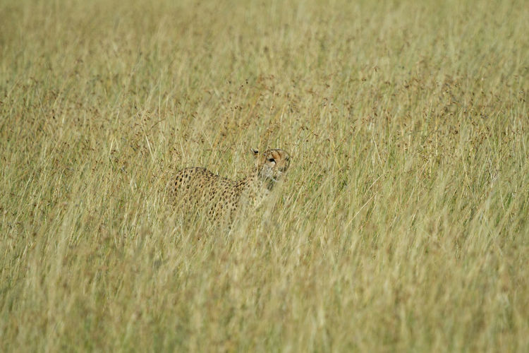 Cheetah hiding in tall grass