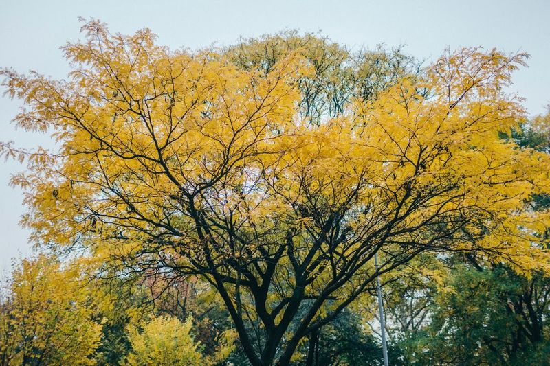 Tree Autumn Yellow Low Angle View Nature Beauty In Nature Branch Change Growth No People Day Outdoors Leaf Sky Scenics Clear Sky Freshness Close-up Neighborhood Map