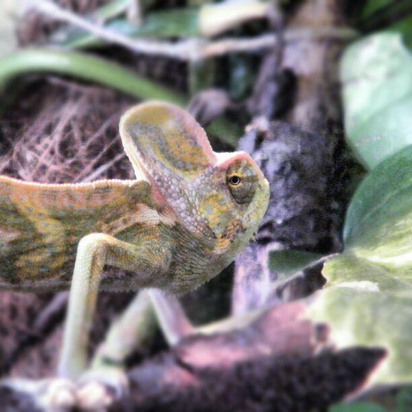 R.I.P. #jemenchamäleon #chamäleon #chamaeleon #chamaeleo #calyptratus #reptile Reptile Jemenchamäleon Chamaeleon Chamäleon Calyptratus Chamaeleo