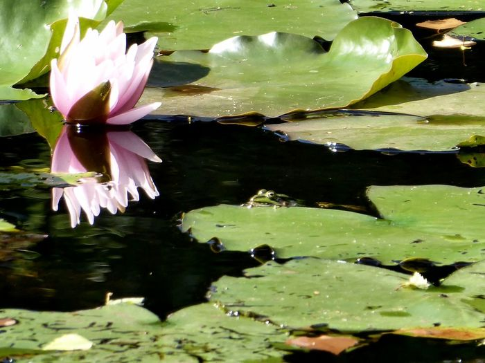 Frog enjoying the sun🐍 Frog On A Leaf Beautiful Summerday Beauty In Nature Simple Beauty Simple Photography Beauty At My Doorstep For My Friends🙄🙋‍♀️ Happy Moment♥ Lucky Me🦄 Zooooom❤ Waterlily Pondlife Flower Head Flower Water Lotus Water Lily Water Lily Leaf Reflection Pond
