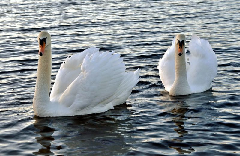 Animal Themes Animals In The Wild Beak Beauty In Nature Floating On Water Lake Nature Rippled Swan Tranquility Water White White Color Wildlife