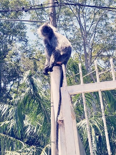 monkeys . Silvered Leaf Monkey Kuala Selangor MelawatiHill Monkey Silver Leaf Monkey Black Monkey Perching Tree Pets Sky Close-up
