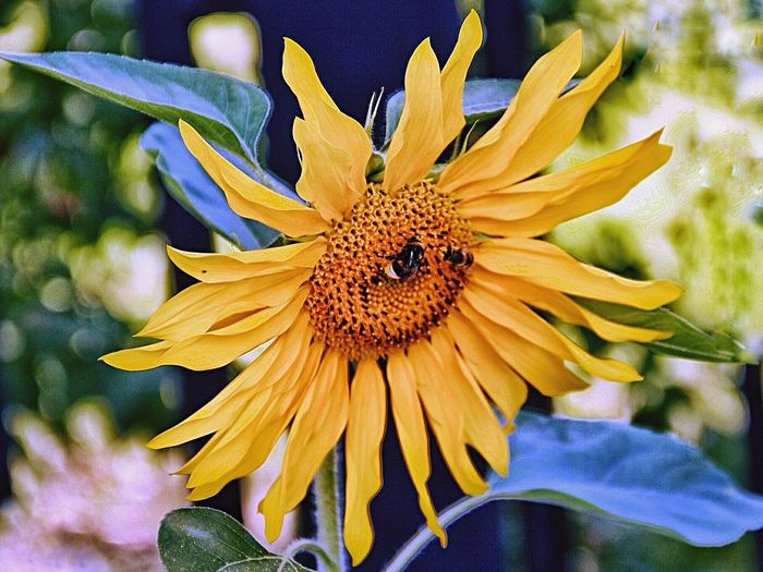 подсолнух шмели Flower Beauty In Nature лето Sunflower