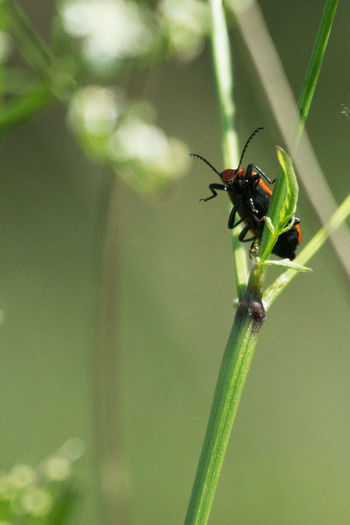 Animals In The Wild Cardinal Beetle Close-up Insect Nature No People One Animal Single Beetle On A Stem
