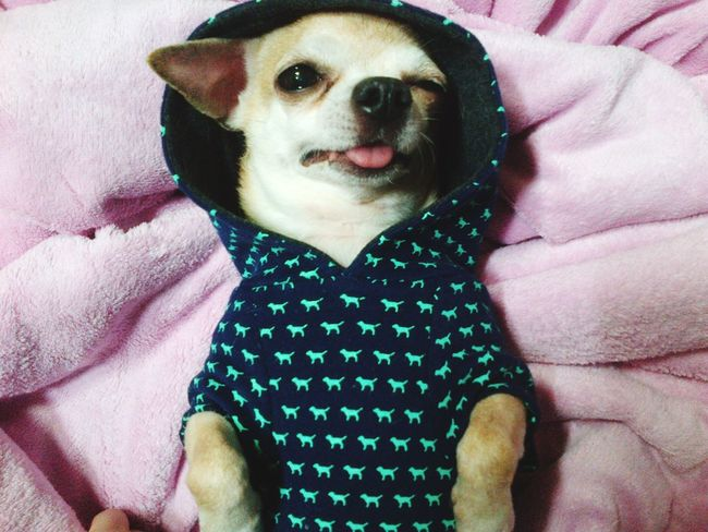 Dog Baby Puppy My Dog Cute Cute Pets Check This Out Cheese! Animals Lovemydog Socute Chihuahua Boy Checkthisout Hi!♥